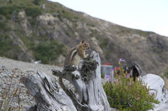 Streifenhörnchen mt-St. Helen Stockfoto