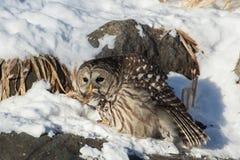 Streifenkauz auf Vogel-Zufuhr stockbild