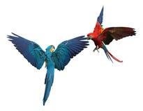 Streitsüchtige Papageien getrennt auf Weiß Stockfotos