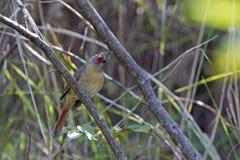 Streken vrouwelijke noordelijke hoofdcardinalis-cardinalis op een tak van boom het voederen voor zaden neer royalty-vrije stock afbeelding