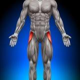 Strekspierbanden Latea - Anatomiespieren Royalty-vrije Stock Afbeeldingen