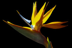 Strelezia,Bird of Paradise flower in nature. Strelezia,Bird of Paradise flower on black Stock Photography