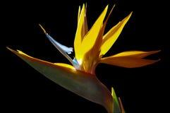 Strelezia, uccello del fiore di paradiso in natura fotografia stock