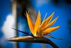 Strelicia flower Royalty Free Stock Photos