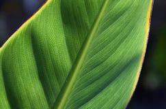 Strelitzia лист райской птицы Стоковые Изображения
