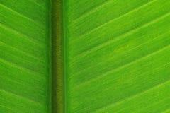 strelitzia листьев Стоковые Фотографии RF