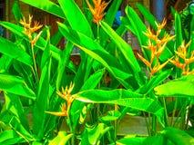 Strelitzia цветка Рай птицы в острове Бали Стоковое Изображение