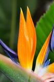 strelitzia цветка стоковая фотография rf