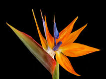 The strelitzia Stock Images