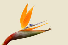 Strelitzia Fotos de Stock Royalty Free