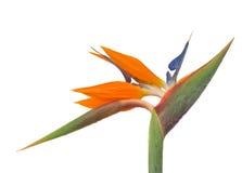 Strelitzia. Bird of paradise flower (Strelitzia) isolated on white bacground Stock Images
