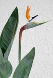 Strelitzia Imagem de Stock Royalty Free