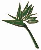 Strelitzia Imagem de Stock