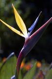 Strelitzia Royalty-vrije Stock Afbeelding