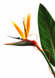 Strelitzia. Bird of paradise flower (strelitzia) isolated on white background Stock Images