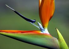 Strelitzia Royalty Free Stock Image