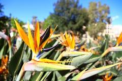Strelitzia Aiton, Strelitziaceae Stock Images