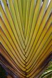 Strelitzia alba ou Strelitzia Nicolai Images stock