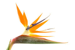 Strelitzia also known as bird of paradise flower Stock Image