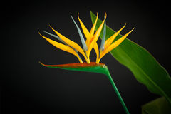 Strelitzia amarelo bonito da flor Foto de Stock Royalty Free
