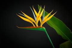 Strelitzia amarillo hermoso de la flor Foto de archivo libre de regalías