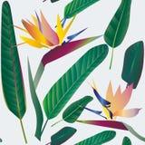 Strelitzia avec des feuilles sur un fond blanc Configuration sans joint T illustration libre de droits