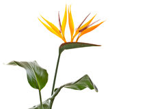 Strelitzia Royalty Free Stock Photo