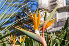 Strelitzia Or Bird Of Paradise Flower in portugal Stock Photos