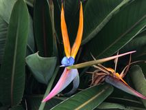 Strelitzia, Bird of Paradise Plant Blossoming in Kilauea on Kauai Island, Hawaii. Stock Photo