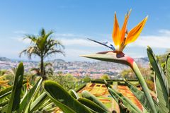 Strelitzia in Botanical garden Funchal at Madeira Island Royalty Free Stock Photo