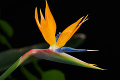 Strelitzia close up Royalty Free Stock Photos