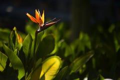 Strelitzia, Dźwigowy kwiat lub ptak raju kwiat, Zdjęcie Stock
