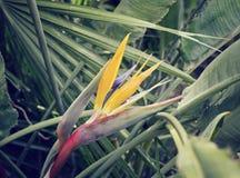 Strelitzia da flor entre as folhas imagem de stock royalty free