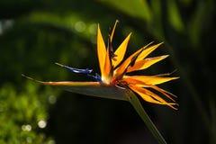 Strelitzia de la flor de la ave del paraíso Imagen de archivo libre de regalías
