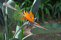 Strelitzia - en blomma av madeiran royaltyfria bilder