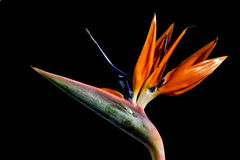 Strelitzia - exotic flower Stock Photos