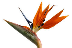 Strelitzia - exotic flower Royalty Free Stock Photos