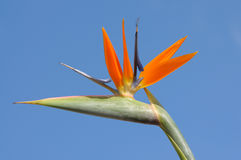 Strelitzia Flower Royalty Free Stock Image