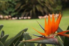 Strelitzia flower. Beautiful strelitzia flower in a green garden Stock Photo