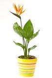 Strelitzia flower Stock Images