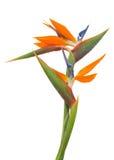 Strelitzia flower Stock Photography