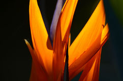 Strelitzia. Flower (aka crane flower, bird of paradise) taken in the warm glow of the afternoon sun, closeup of the flower lit by the sun.  12 February 2016 Stock Image