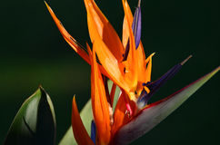 Strelitzia. Flower (aka crane flower, bird of paradise) taken in the warm glow of the afternoon sun.  12 February 2016.  Hillcrest, KZN, South Africa Royalty Free Stock Photo