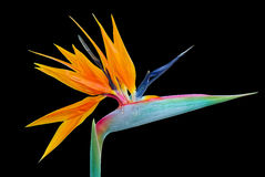 Strelitzia aka Bird of Paradise flower, isolated on black Stock Image