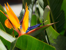 Strelitzia flower Royalty Free Stock Images