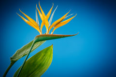Strelitzia flower Stock Images