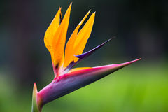 Strelitzia flower Stock Photos