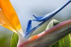 Strelitzia flower. In a garden in Tenerife Canary Islands Stock Photo