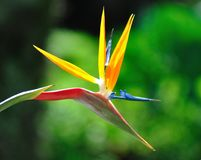 Strelitzia flower royalty free stock photography