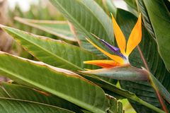 Strelitzia flower on green natural background. stock images